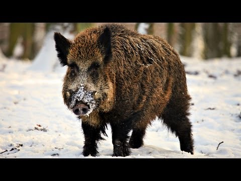 Hunting Giant Wild Boar In Hungary video