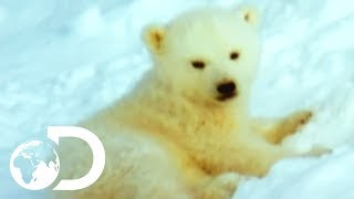 Mother Polar Bear And Her Cubs Come Out Of Hibernation | Wildest Arctic