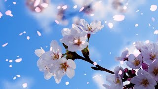"Peaceful Instrumental music, Relaxing music ""Perfect Blossom"" by Tim Janis"
