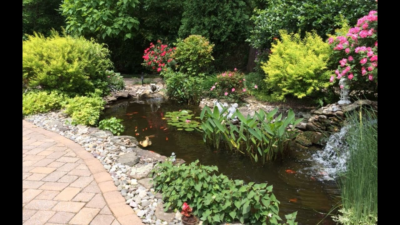 Our backyard goldfish koi pond is looking nice in june for Nice koi fish pond