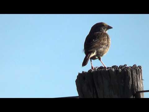O Canto Do Tico-tico-do-campo, Ammodramus Humeralis, video