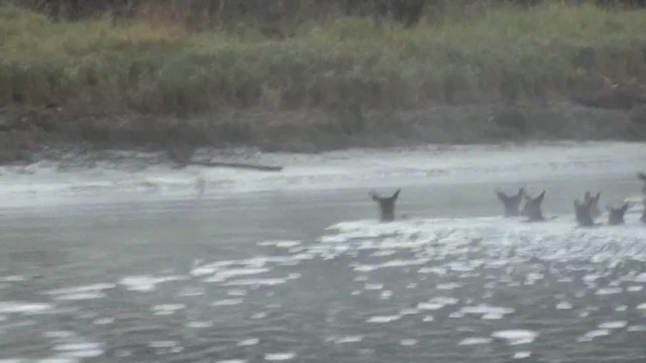 Alsea river elk crossing youtube for Alsea river fishing report