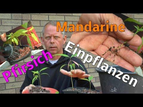 Pfirsich Und Mandarine Einpflanzen Litschi Wachsen