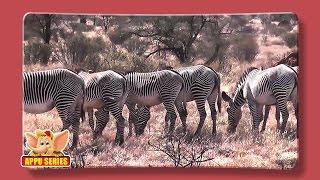 Zebra - Fun Facts