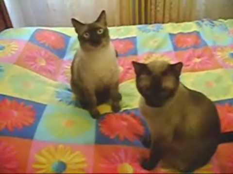 Siamese Cat Song Video