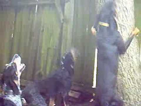Coon Hunting Training Video