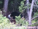 Maine Bear Hunt with Black Powder Rifle Video