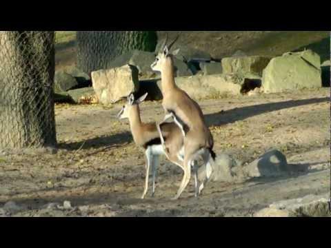 Thomson-Gazelle Paarungsversuche