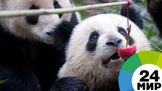 Особенная панда: медвежонок из Китая полюбил душ и спорт - МИР 24