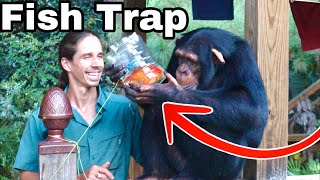 CHIMP CATCHES COLORFUL FISH with FISH-TRAP!