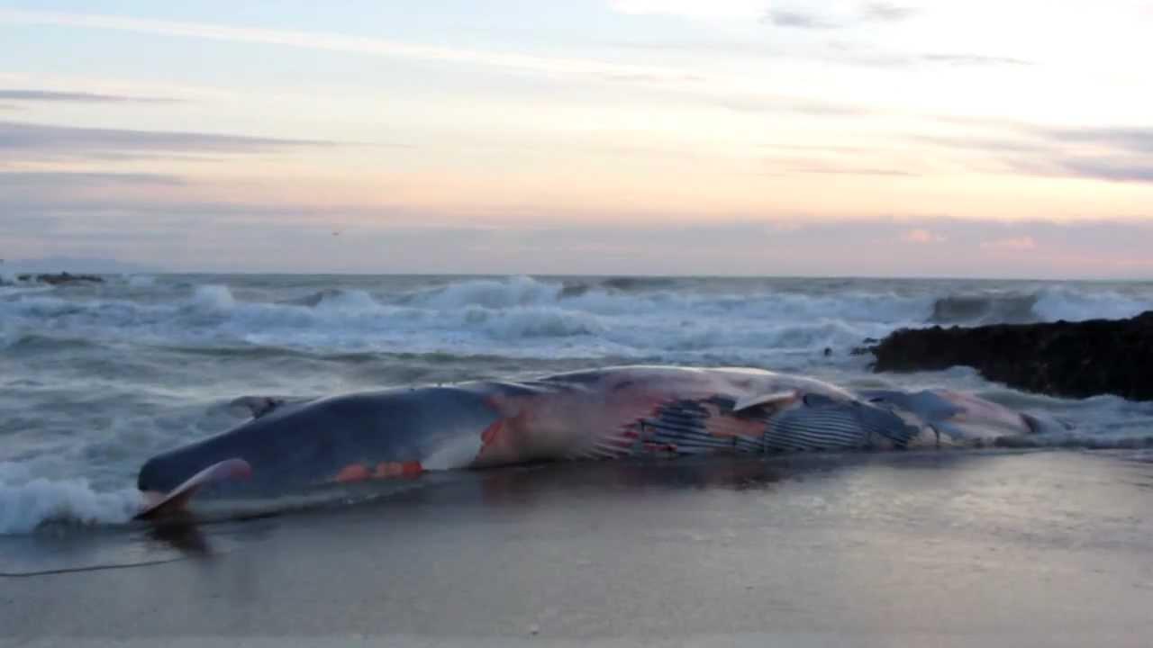 Balena Whale Arenata Sulla Spiaggia Di Rosignano Solvay