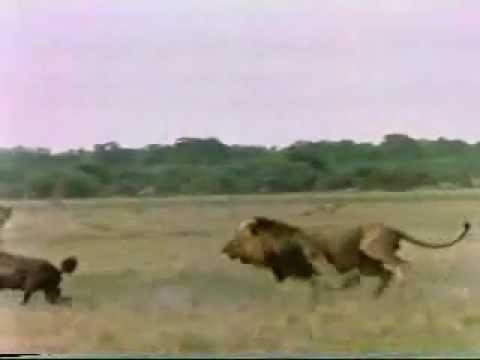 Leones vs Hienas
