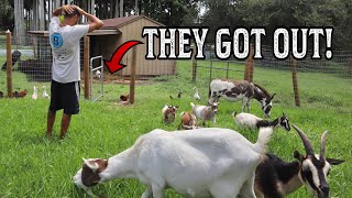 ALL MY GOATS ESCAPED....  WHAT DO I DO?