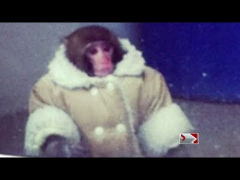 Global National – Darwin the IKEA monkey in a coat ACTUAL video and sanctuary trip