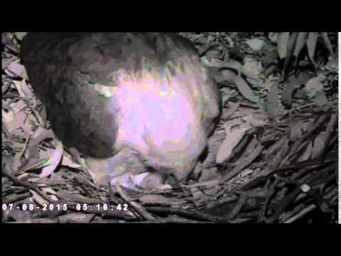 SYDNEY SEA EAGLES  8/7/2015     WE HAVE AN EAGLET  SE 15