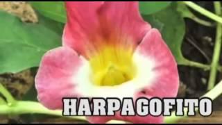 El harpagofito, una planta medicinal para alivar la artritis