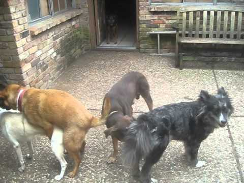 A Canine Chain Bang video