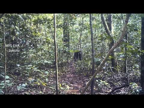 The Bili Ape