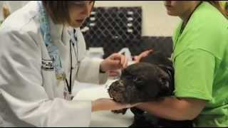 The-Face-of-Dogfighting--One-Dogs-Incredible-Journey