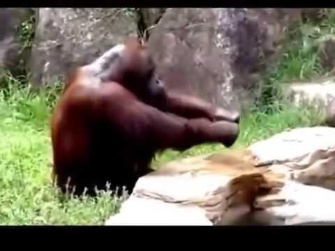 Monyet kawin