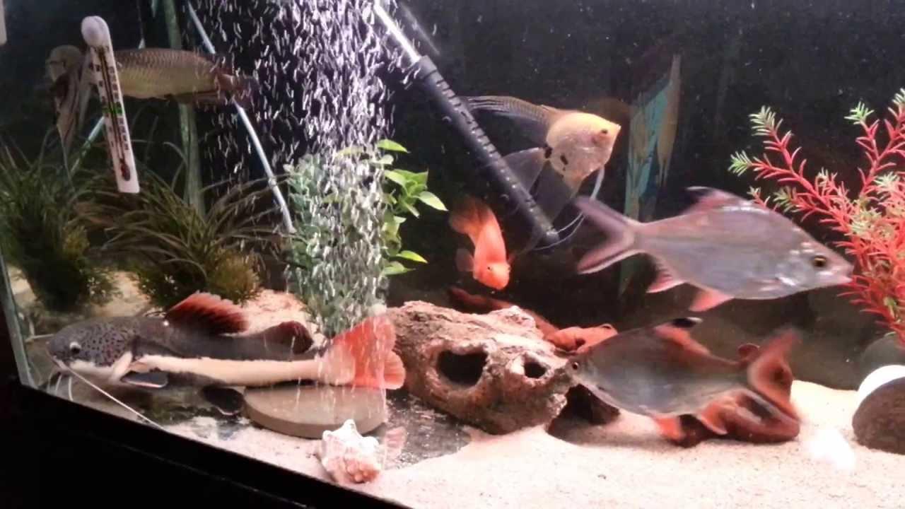 List of freshwater aquarium fish species  Wikipedia