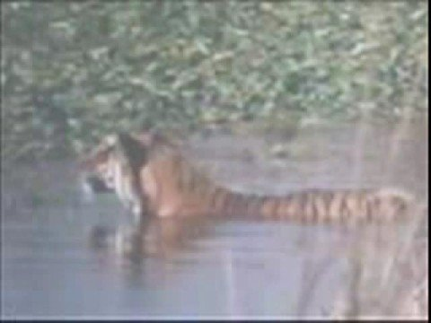 Tiger vs Crocodile. Tiger kills Croc .(Tiger is the winner).