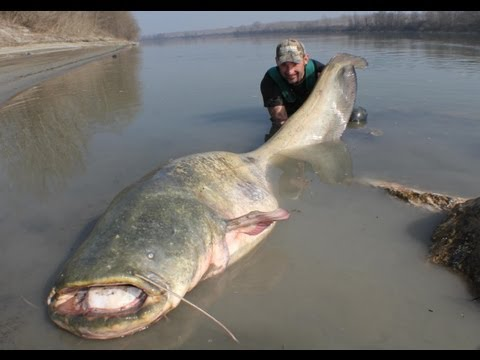 CATFISH: YURI GRISENDI FIGHT A MONSTER OVER 100 KG - HD by CAT WORLD