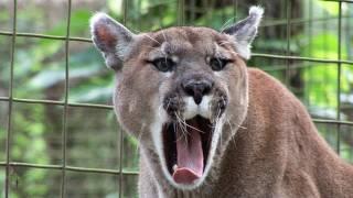 Funny Crazy BIG CAT SOUNDS!