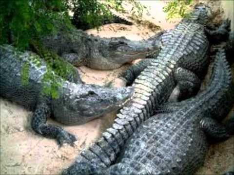 Diferencias entre cocodrilos y caimanes