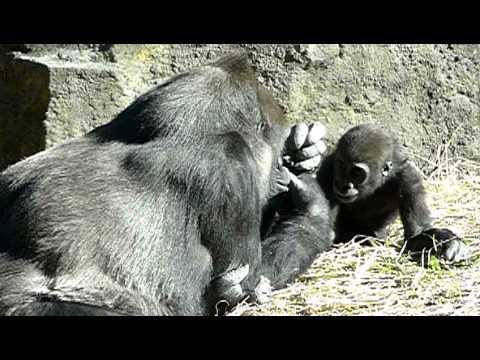 2011年1月10日の上野動物園のゴリラの赤ちゃんコモモ。Cute baby gorilla.