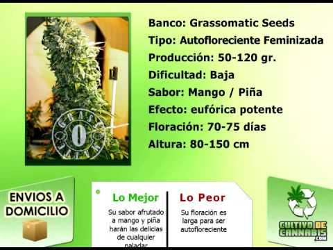 Maxi Gom Maxi Gom Grassomatic Seeds