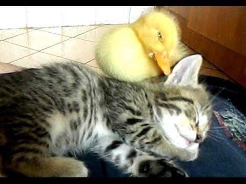 添い寝する仲良しな子猫とアヒル