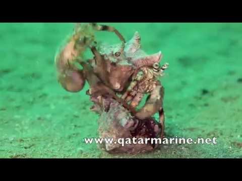 Qatar Marine hidden treasure 4  by Khaled Zaki  من كنوز قطر البحريه   خالد ذكي