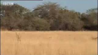 Hyenas vs lion hunters - BBC wildlife