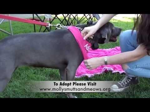 American Pit Bull Terrier / Weimaraner Mix