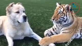 Funniest Tiger and Dog  - Dog's reaction when Tiger wants to eat together