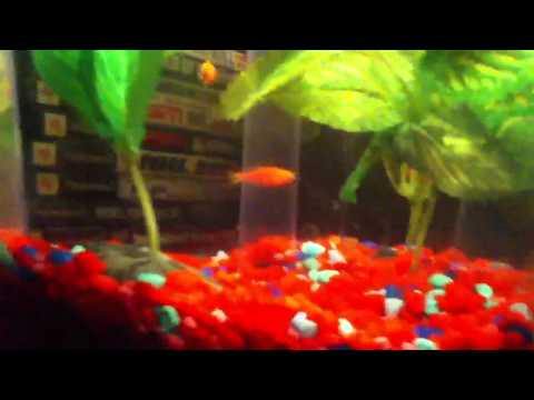How to breed you glofish how to save money and do it for Does walmart sell fishing license