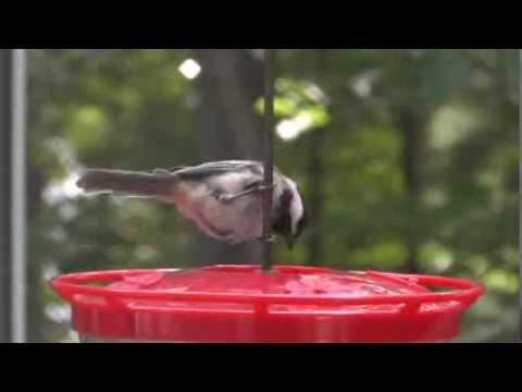 Chickadee Hummingbird Feeder at Hummingbird Feeder