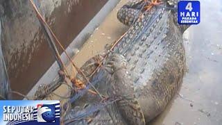 Buaya 6 Meter Ditangkap Nelayan [Sindo Sore] [5 Des 2015]