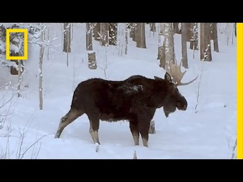 Rare Video: Moose Loses an Antler   National Geographic