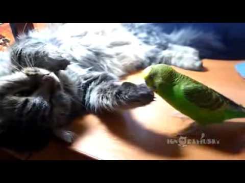 Наглый попугай троллит кота
