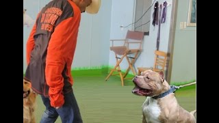 Vicious Pit Bull Fights Dog Whisperer - EP 18 DOG INTERVENTION - Dog Whisperer BIG CHUCK MCBRIDE