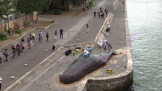 Une baleine échouée en plein Paris
