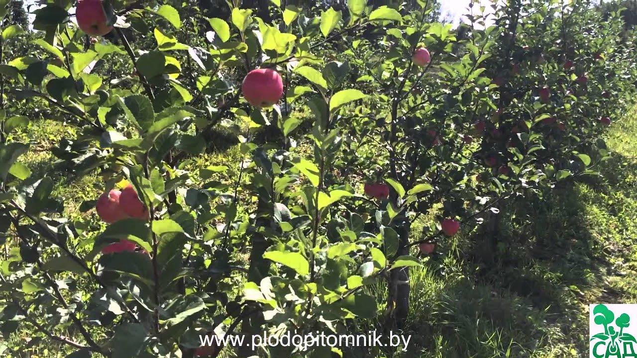 исеть белая яблоня описание фото отзывы