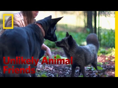 Foxy Friends | Unlikely Animal Friends