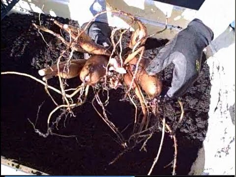 How to Harvest & Propagate Yacon from a 5 Gallon Nursery Pot