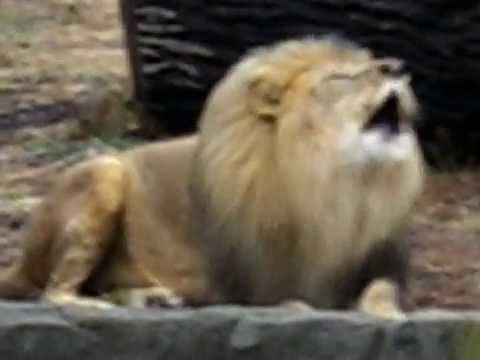 Roaring lion Video