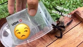 STUBBORN tarantula REFUSES to stay in her new CAGE !!!