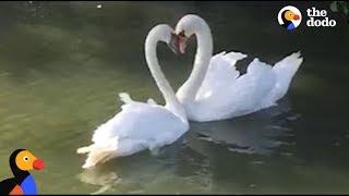 Swan Couple Has SWEETEST Reunion | The Dodo