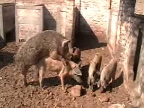 vacas y cerdos 2